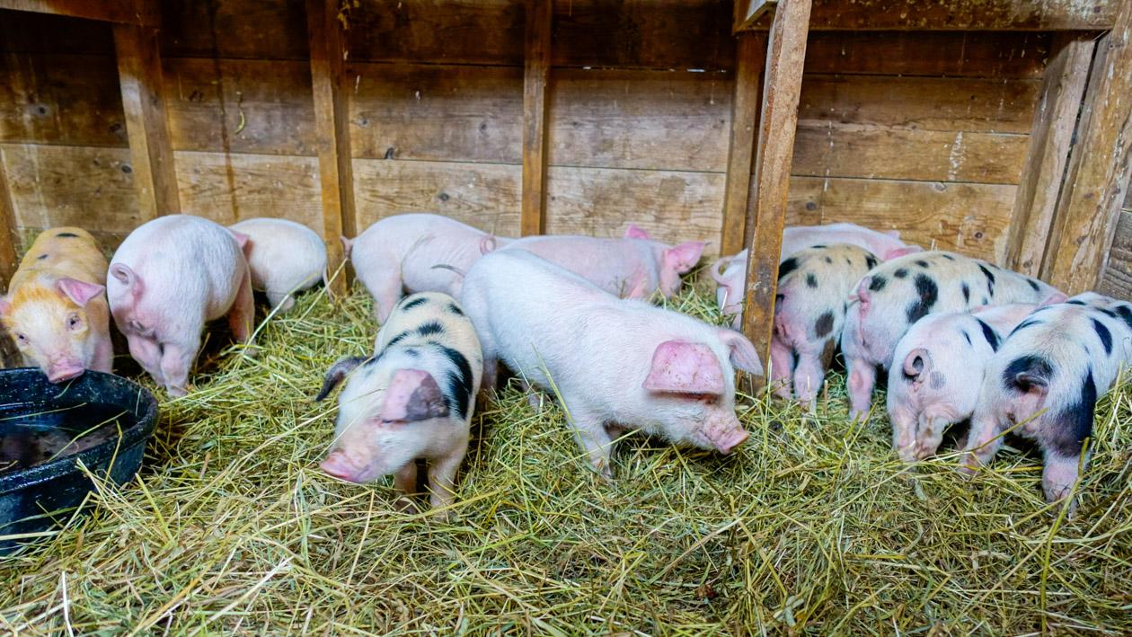 Little piglets in the barn.