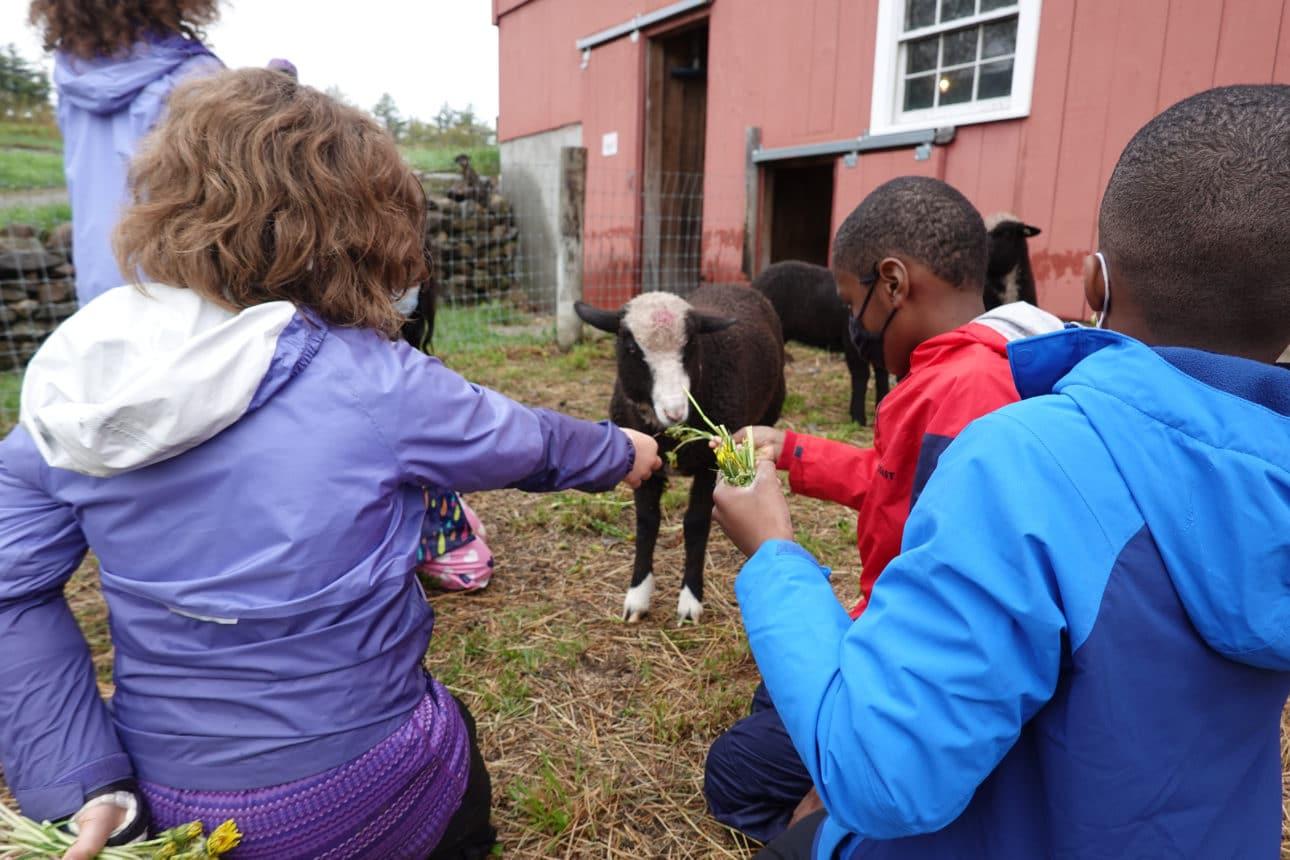 Lambs Eating Dandelions